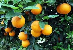 portokalia1 jpg