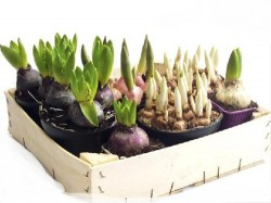 flower_bulbs_in_wooden_box_03164cs-u5