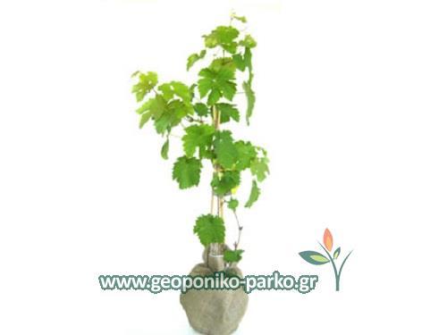 Αμπέλι - κλήμα - σταφύλι - vitis vinifera