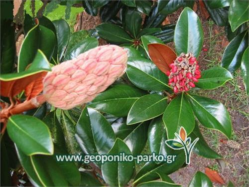 Μαγνόλια - μανώλια αειθαλής - magnolia