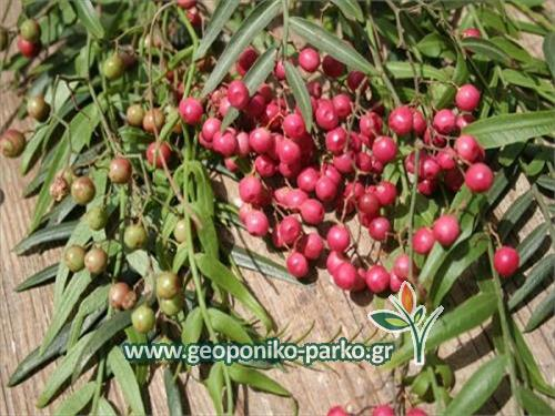 Ψευδοπιπεριά δέντρο - schinus molle