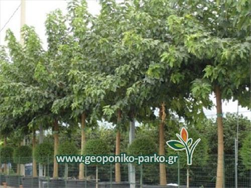 Μουριά πλατύφυλλη δέντρο - morus platanifolia