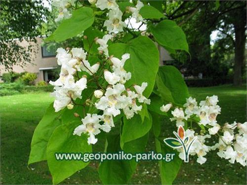 Κατάλπη δέντρο - γλ. 10 λτ | catalpa bignonioides