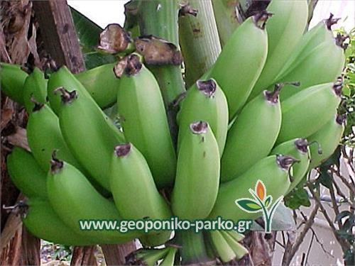 Ο nany και οι μπανάνες