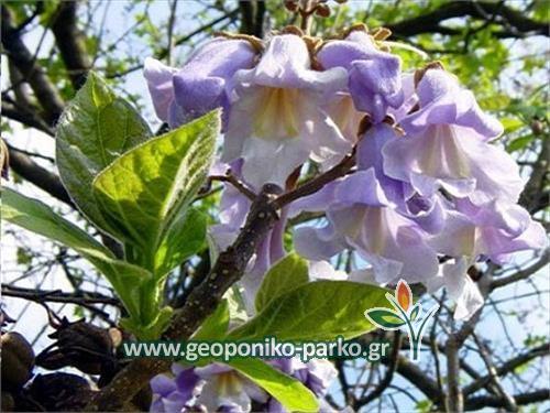 Παουλόβνια - παυλώνια δέντρο - paulovnia